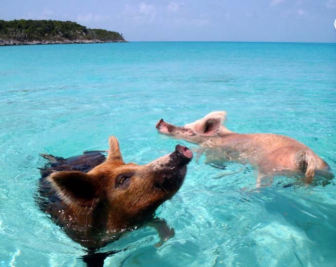 plaża Pig  Bahamy